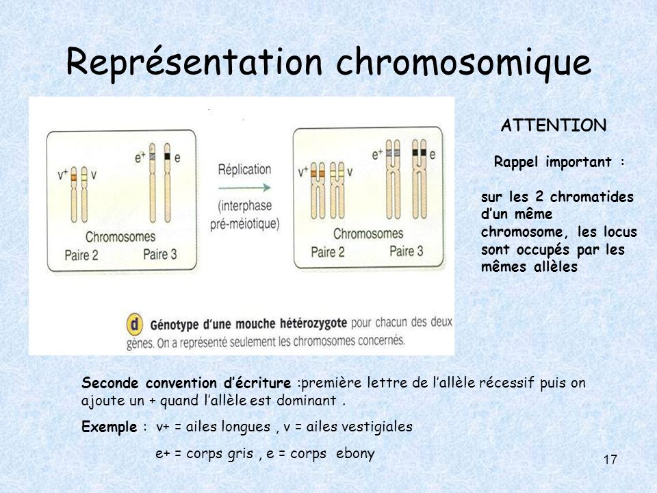 Représentation chromosomique