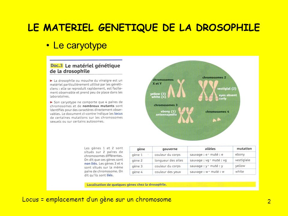 LE MATERIEL GENETIQUE DE LA DROSOPHILE