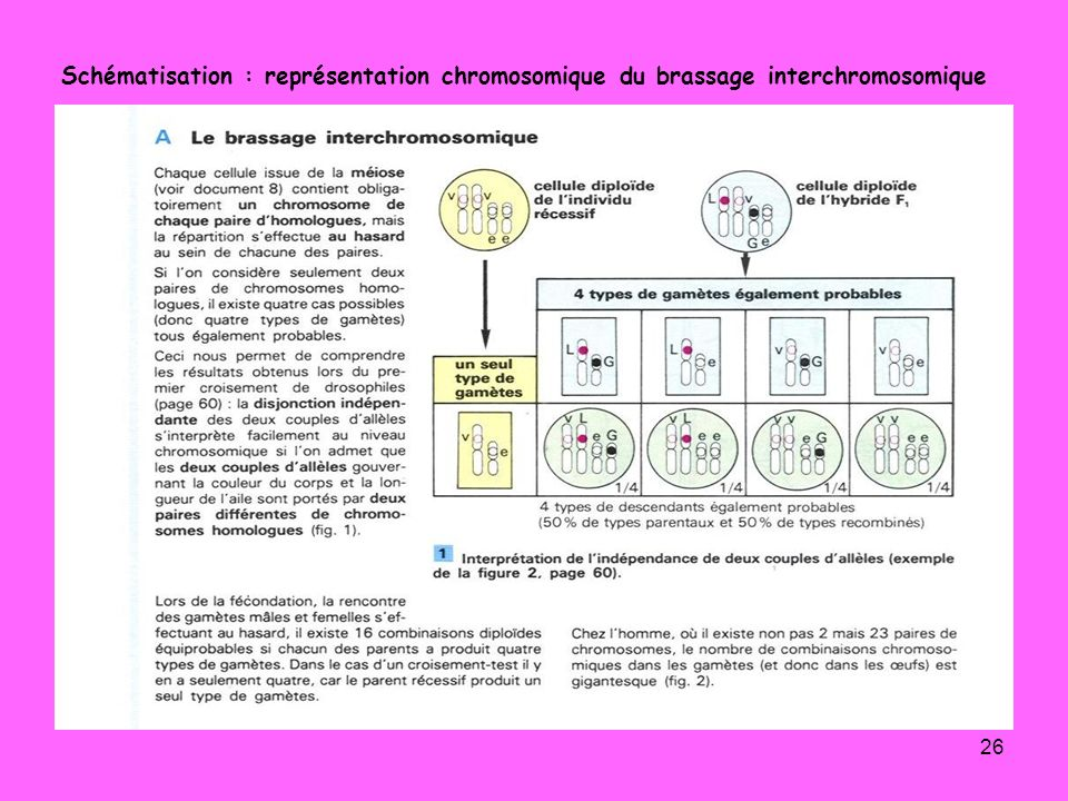 Schématisation : représentation chromosomique du brassage interchromosomique