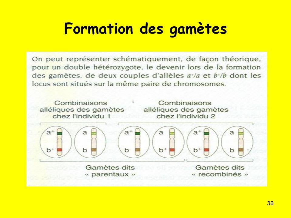 Formation des gamètes