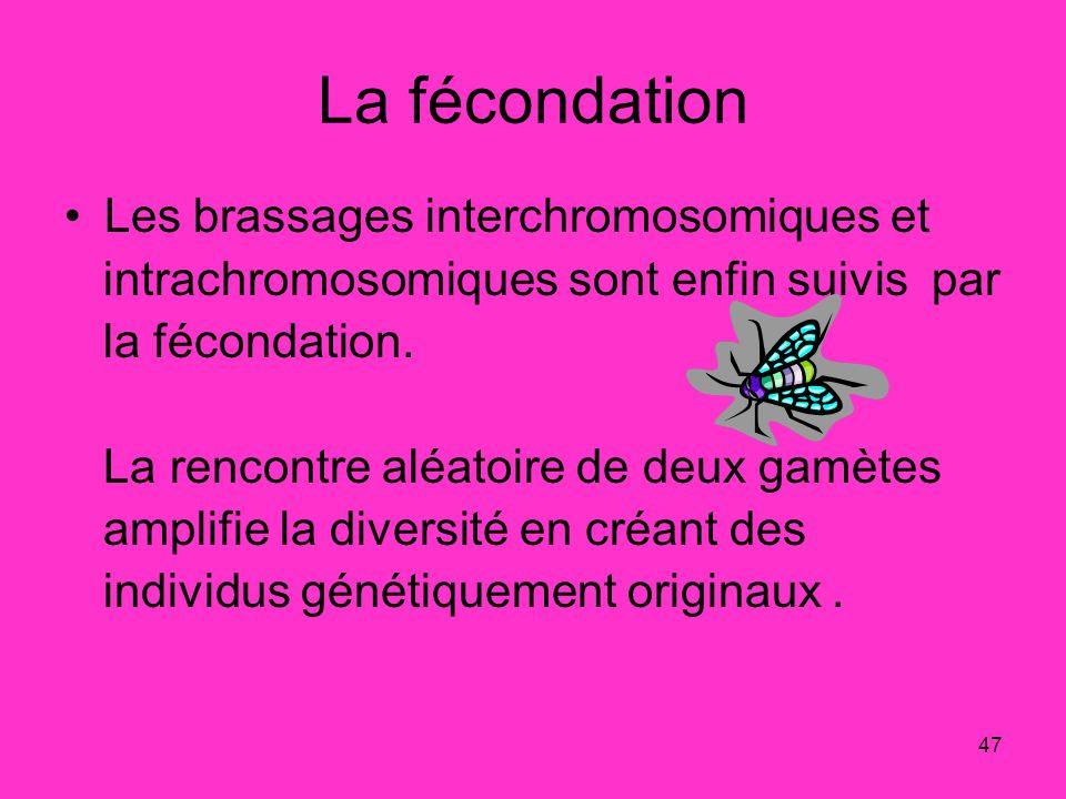 La fécondation Les brassages interchromosomiques et