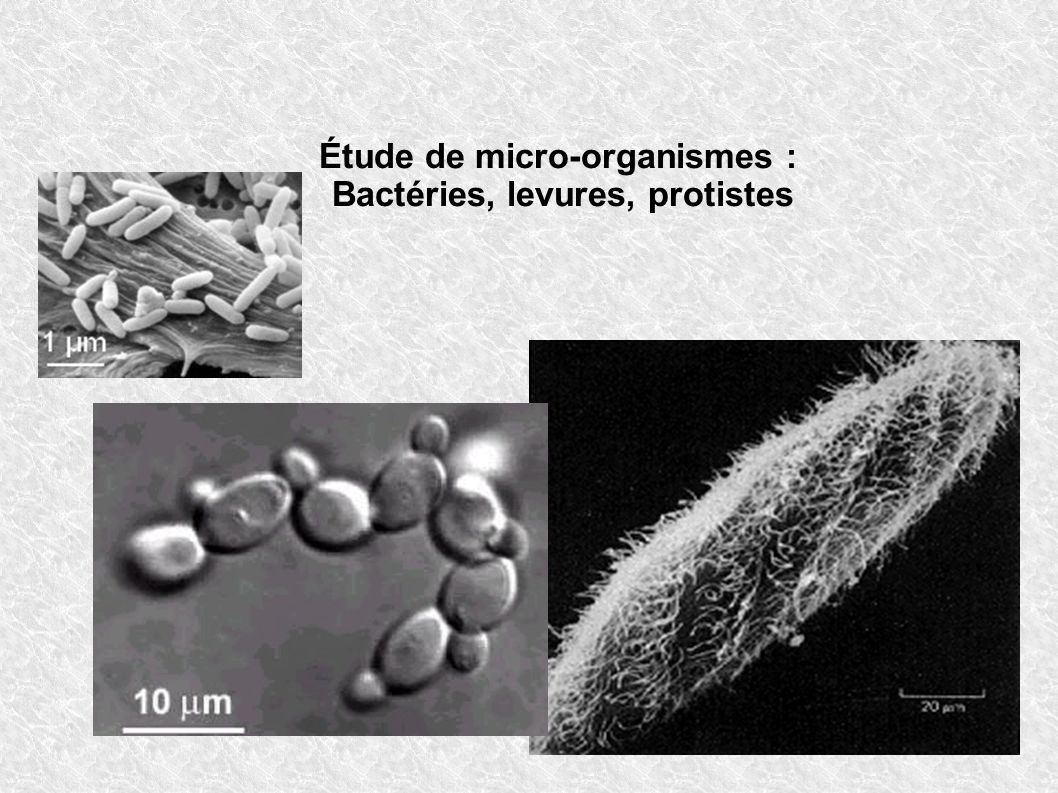 Étude de micro-organismes : Bactéries, levures, protistes