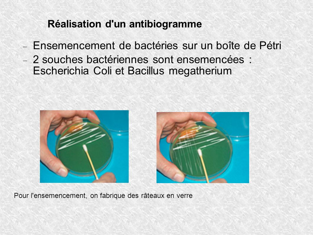 Ensemencement de bactéries sur un boîte de Pétri
