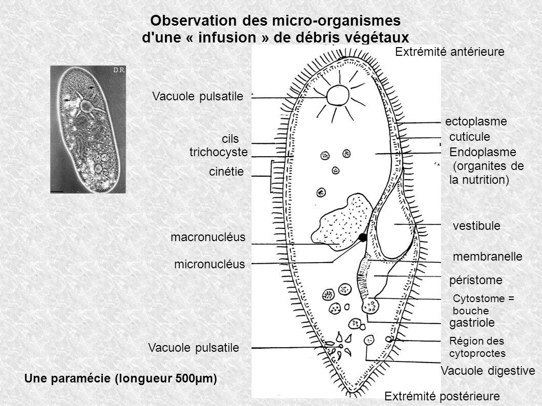 Observation des micro-organismes d une « infusion » de débris végétaux