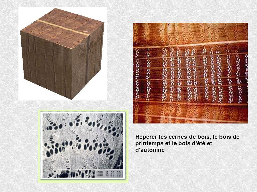Repérer les cernes de bois, le bois de printemps et le bois d été et d automne