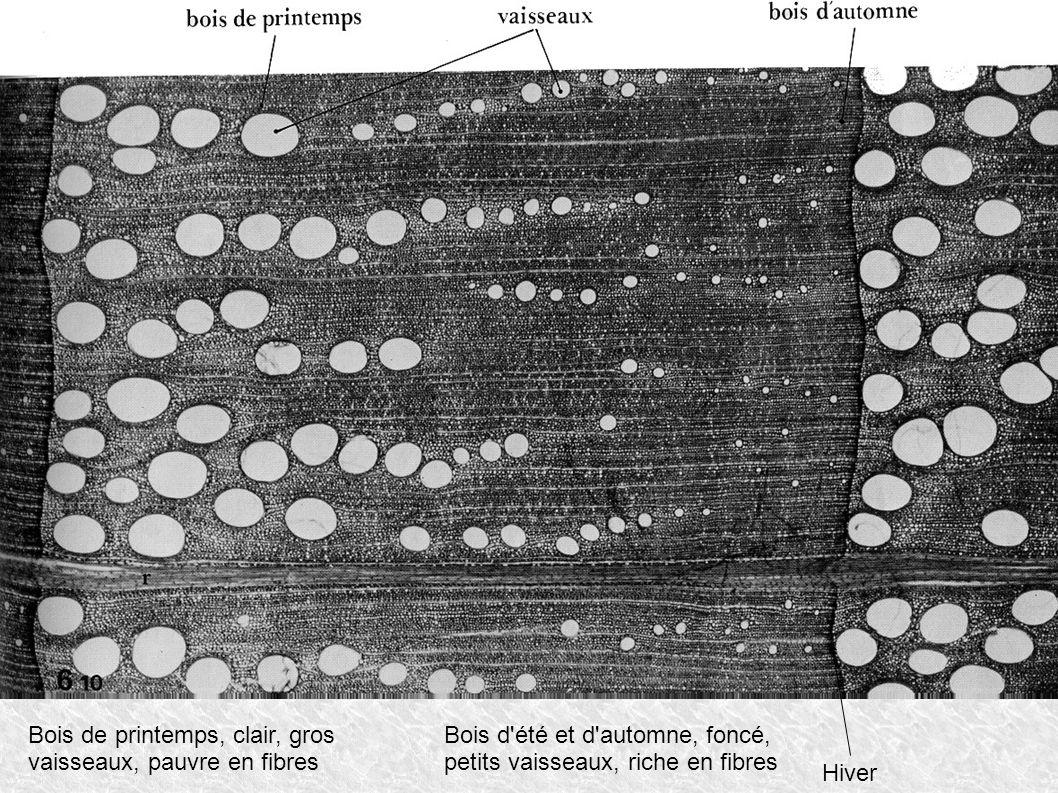 Bois de printemps, clair, gros vaisseaux, pauvre en fibres