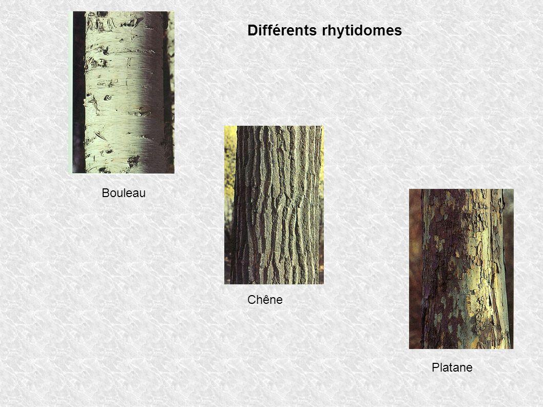 Différents rhytidomes