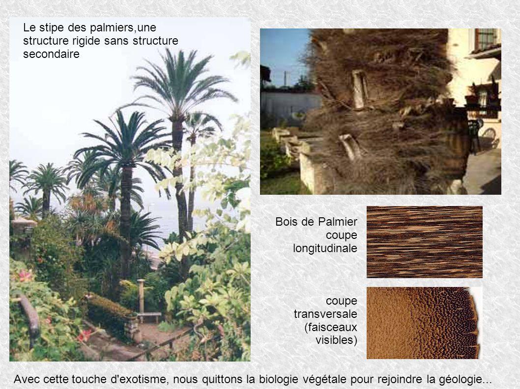 Le stipe des palmiers,une structure rigide sans structure secondaire
