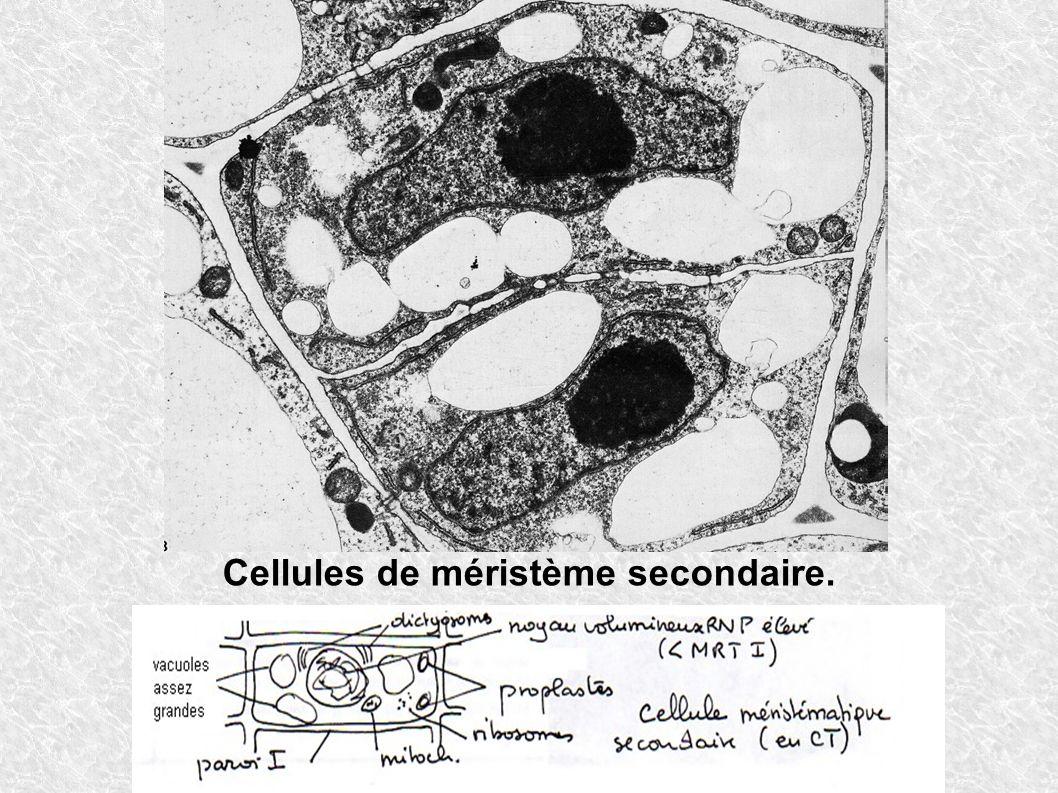Cellules de méristème secondaire.