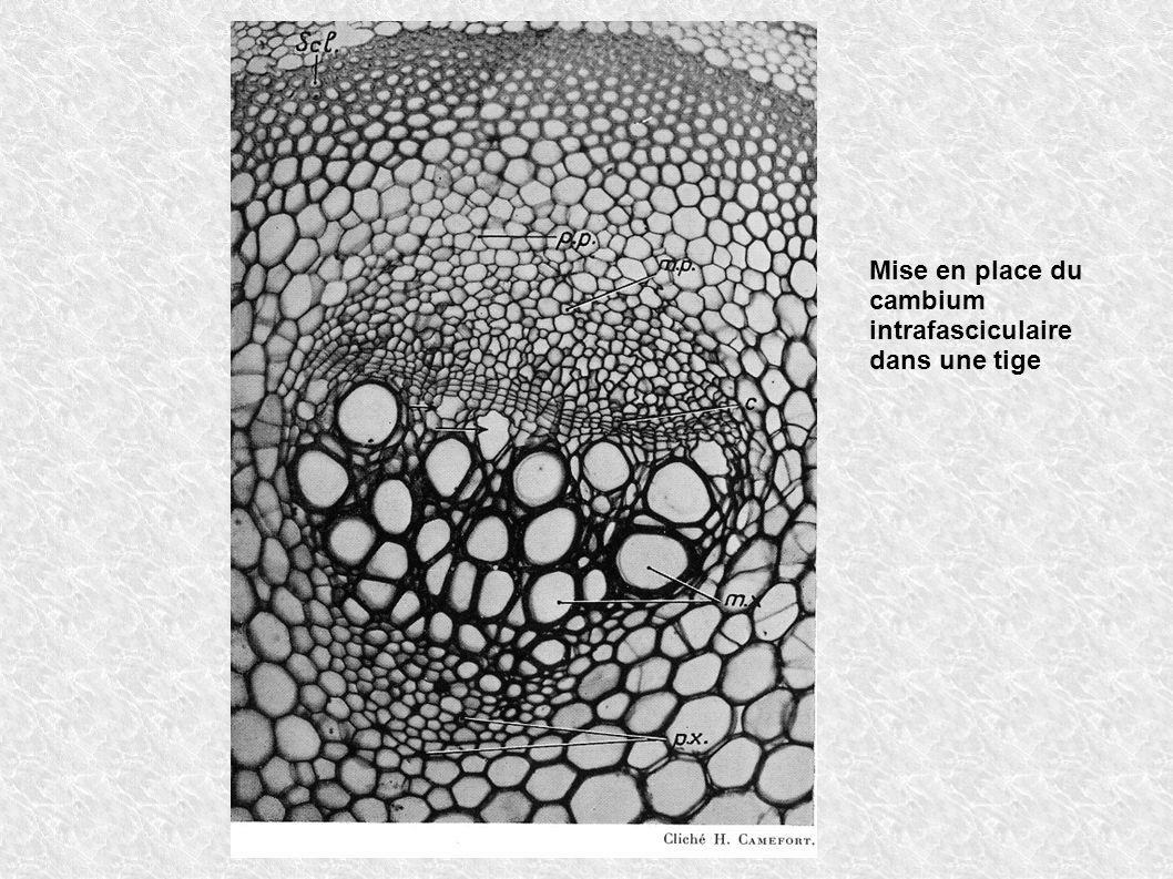 Mise en place du cambium intrafasciculaire dans une tige