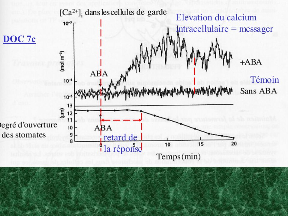 Elevation du calcium intracellulaire = messager