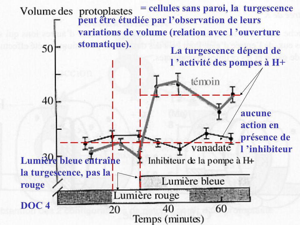 = cellules sans paroi, la turgescence peut être étudiée par l'observation de leurs variations de volume (relation avec l 'ouverture stomatique).