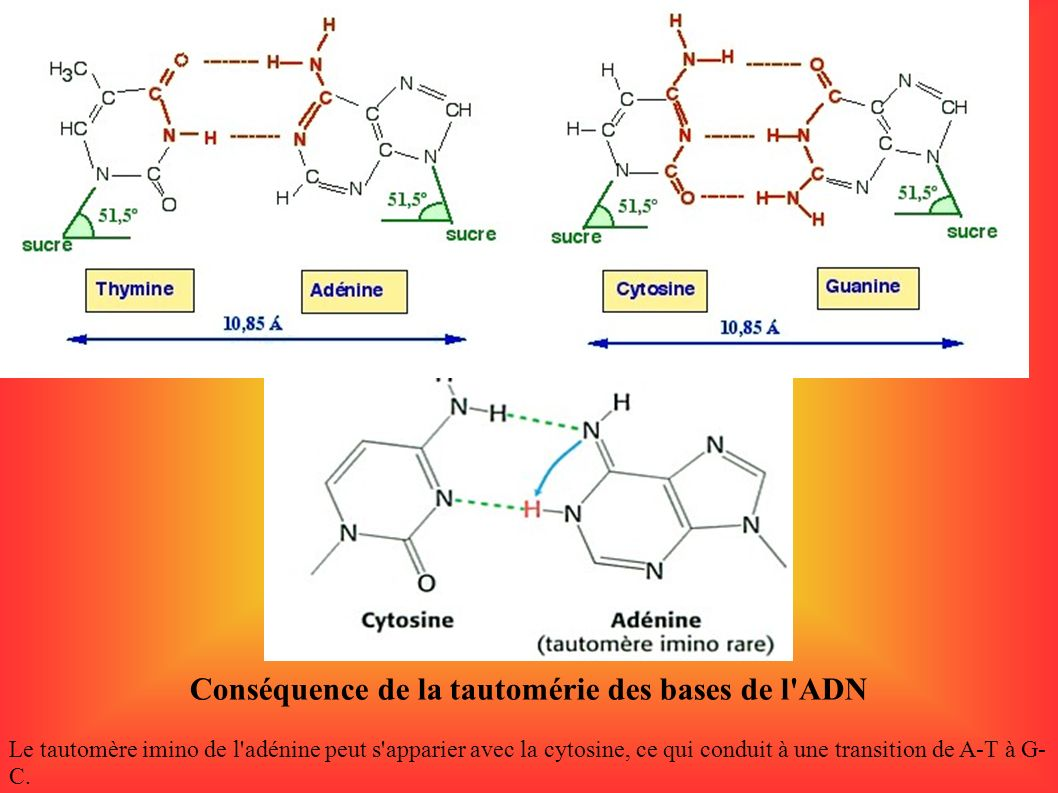 Conséquence de la tautomérie des bases de l ADN