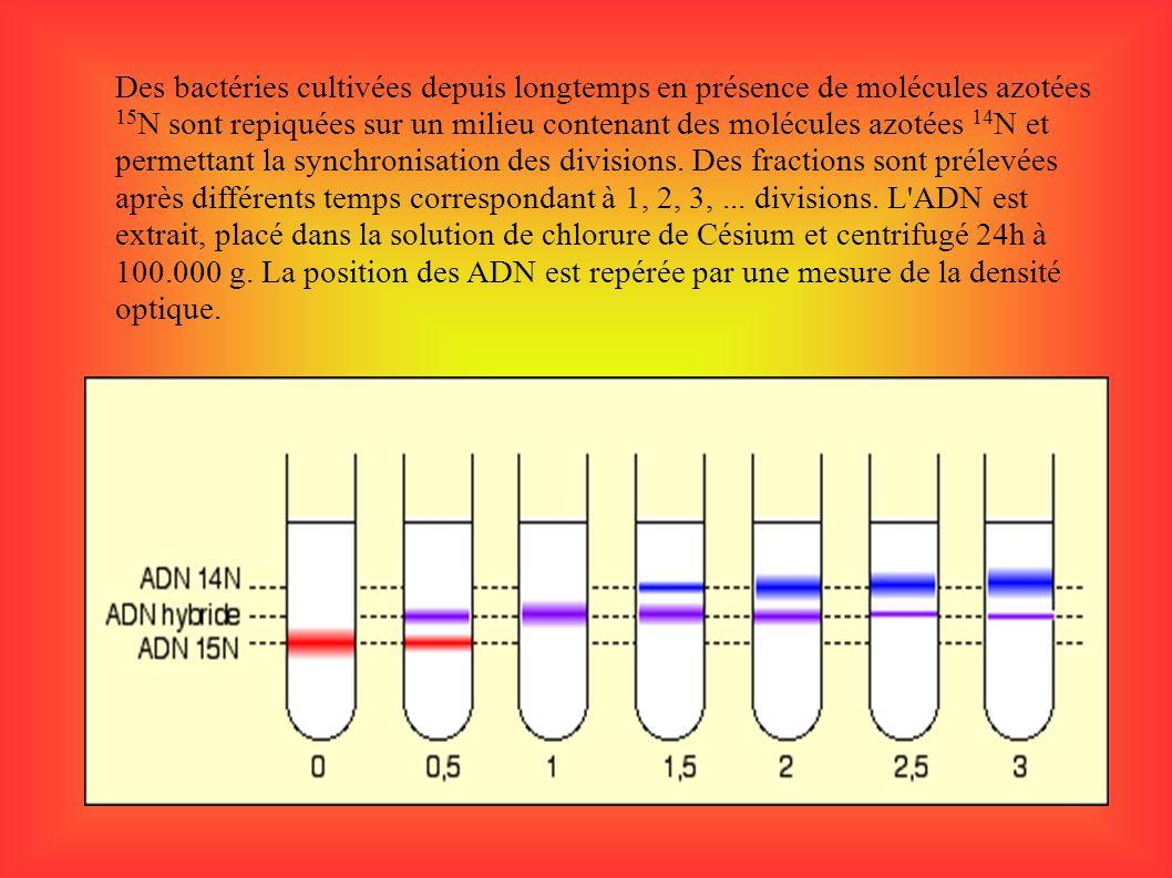 Des bactéries cultivées depuis longtemps en présence de molécules azotées 15N sont repiquées sur un milieu contenant des molécules azotées 14N et permettant la synchronisation des divisions.
