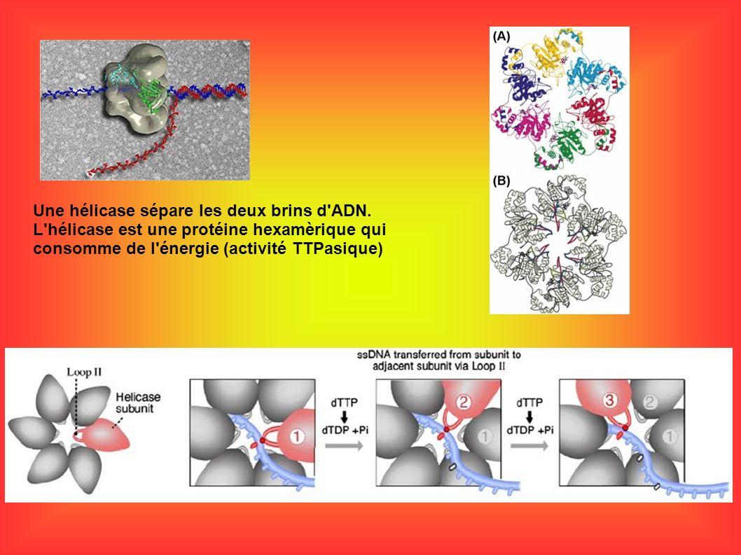 Une hélicase sépare les deux brins d ADN.