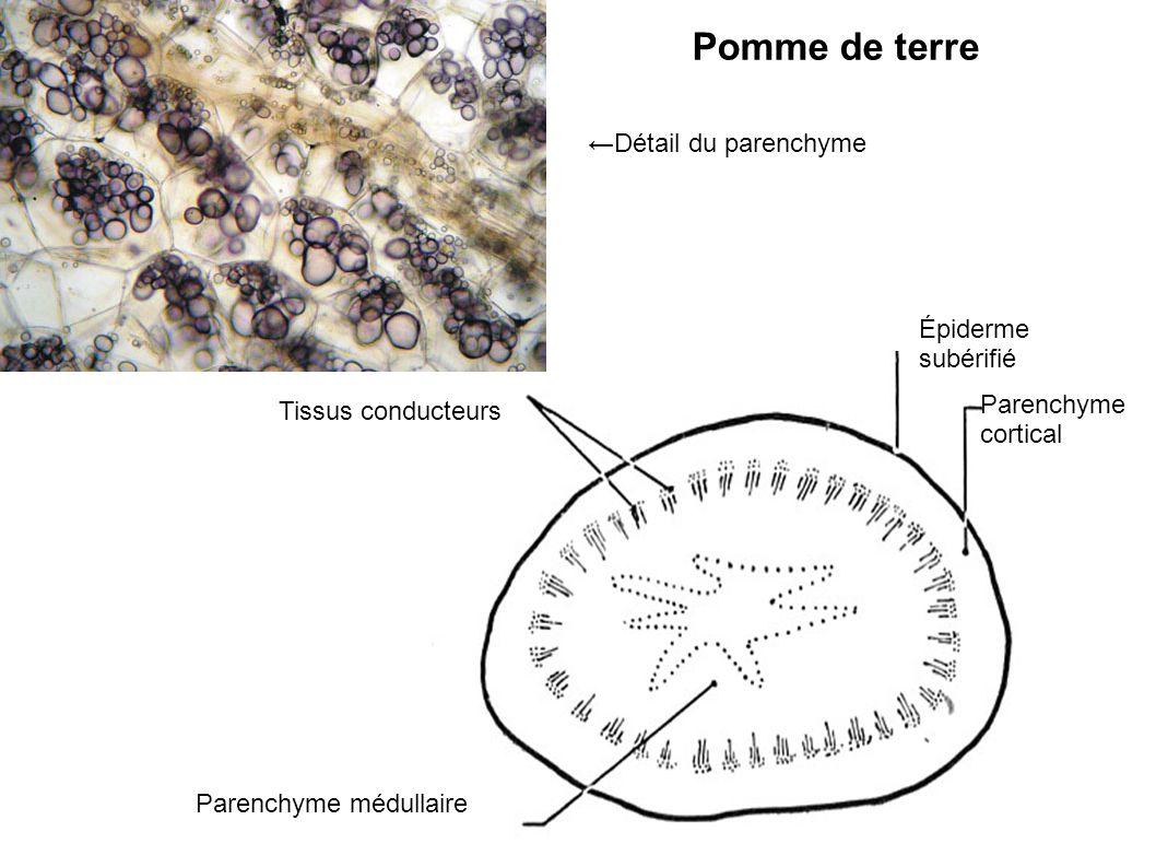 Pomme de terre ←Détail du parenchyme Épiderme subérifié