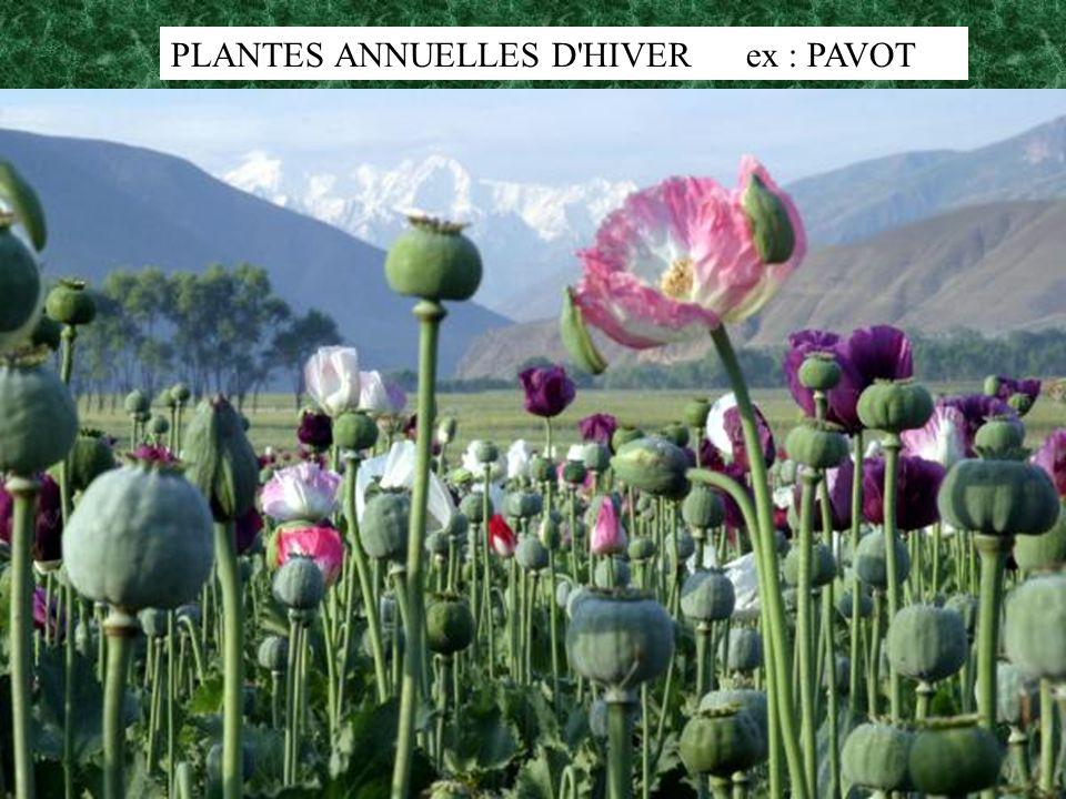 PLANTES ANNUELLES D HIVER ex : PAVOT