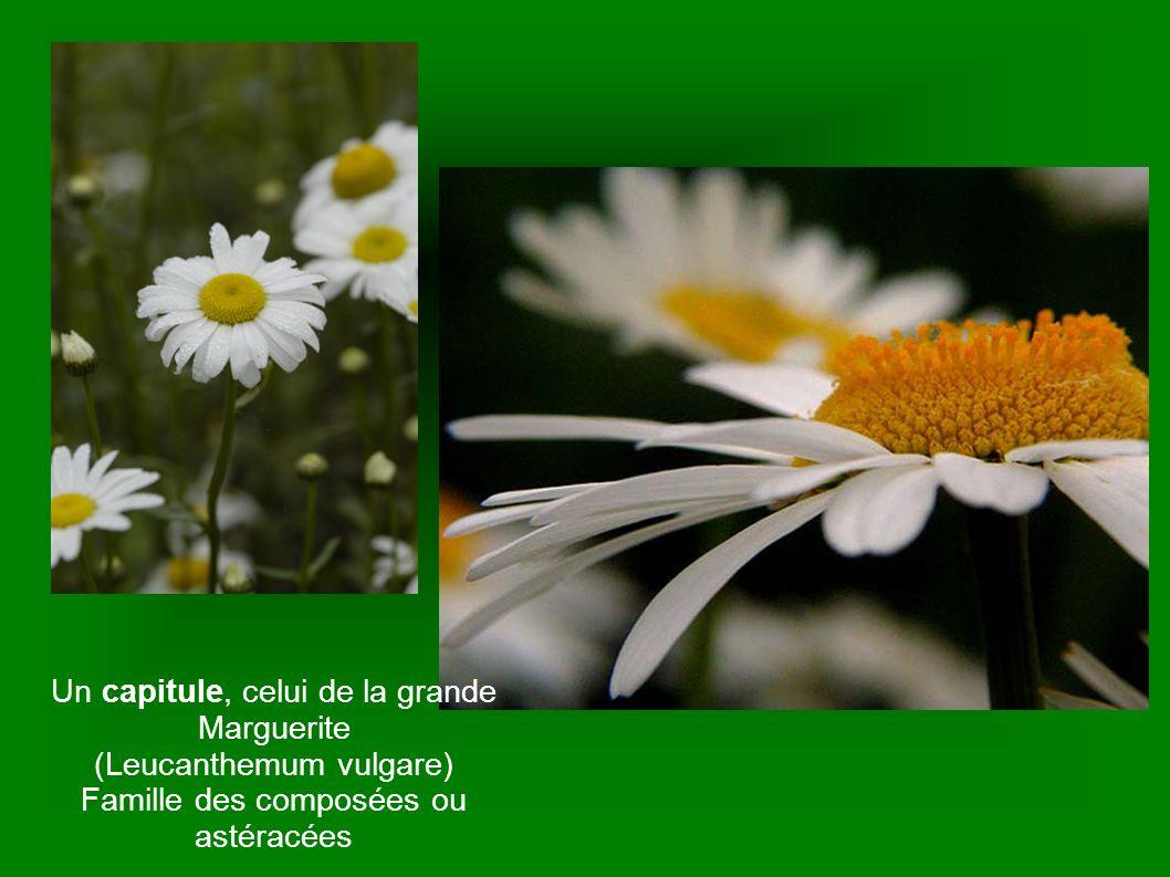 Un capitule, celui de la grande Marguerite (Leucanthemum vulgare)