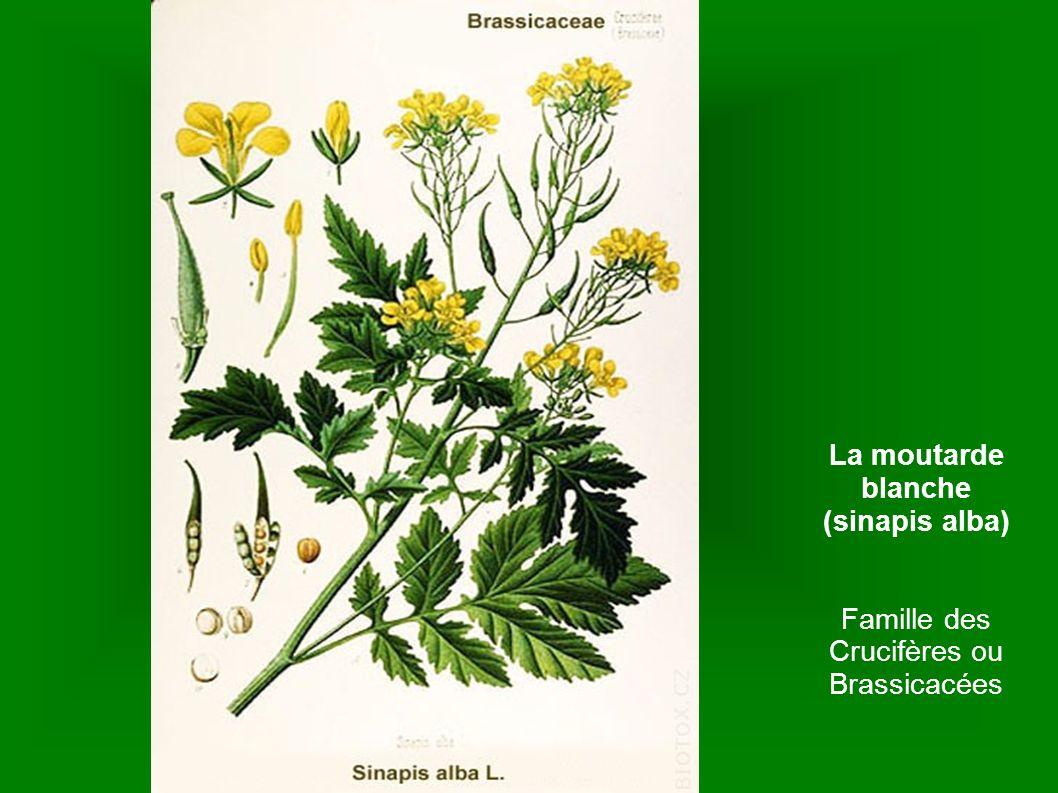 Famille des Crucifères ou Brassicacées