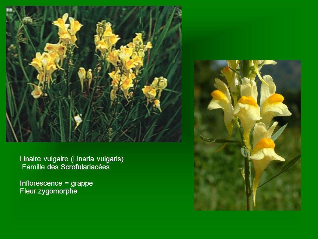 Linaire vulgaire (Linaria vulgaris)