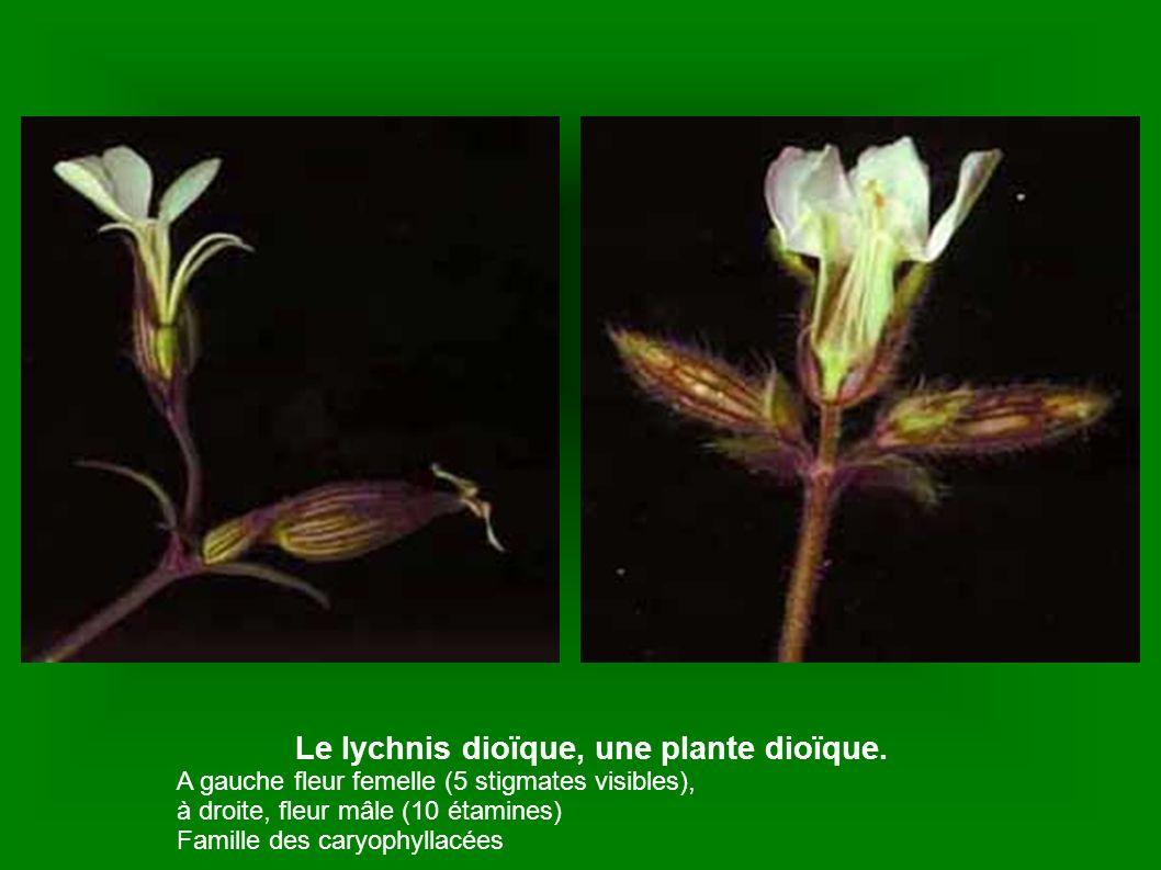 Le lychnis dioïque, une plante dioïque.
