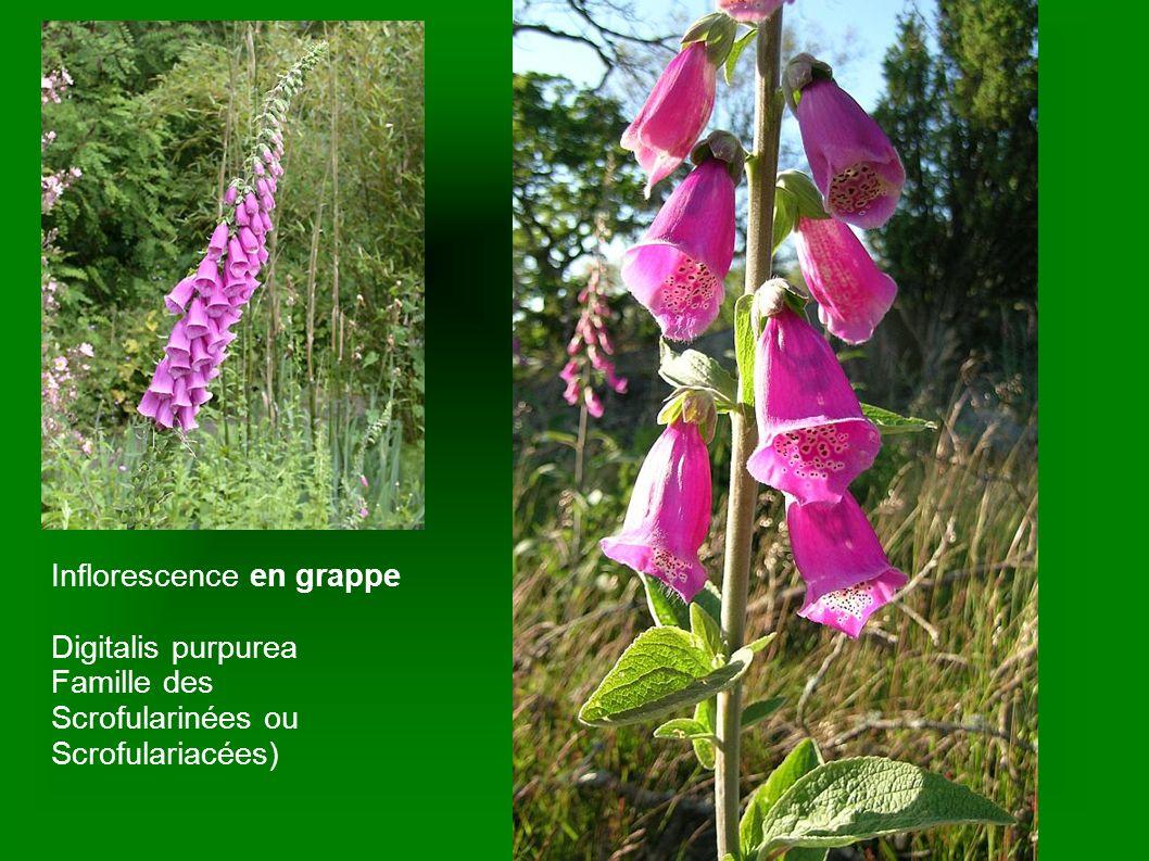 Inflorescence en grappe