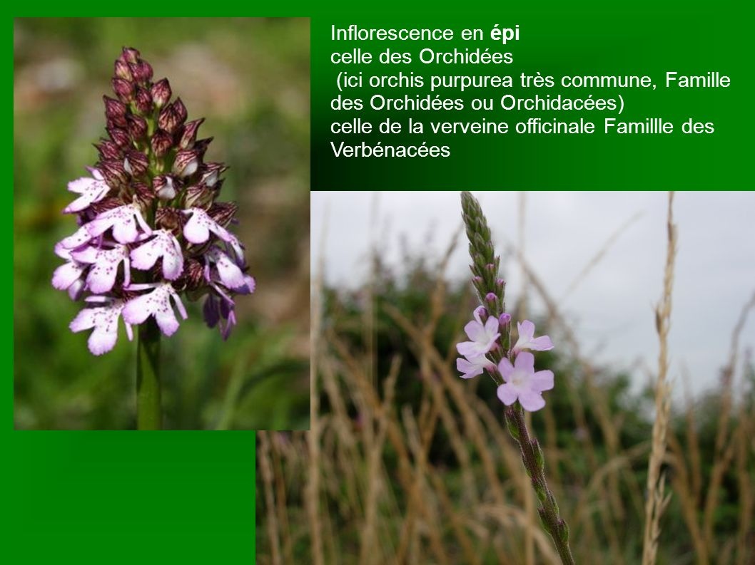 Inflorescence en épi celle des Orchidées. (ici orchis purpurea très commune, Famille des Orchidées ou Orchidacées)