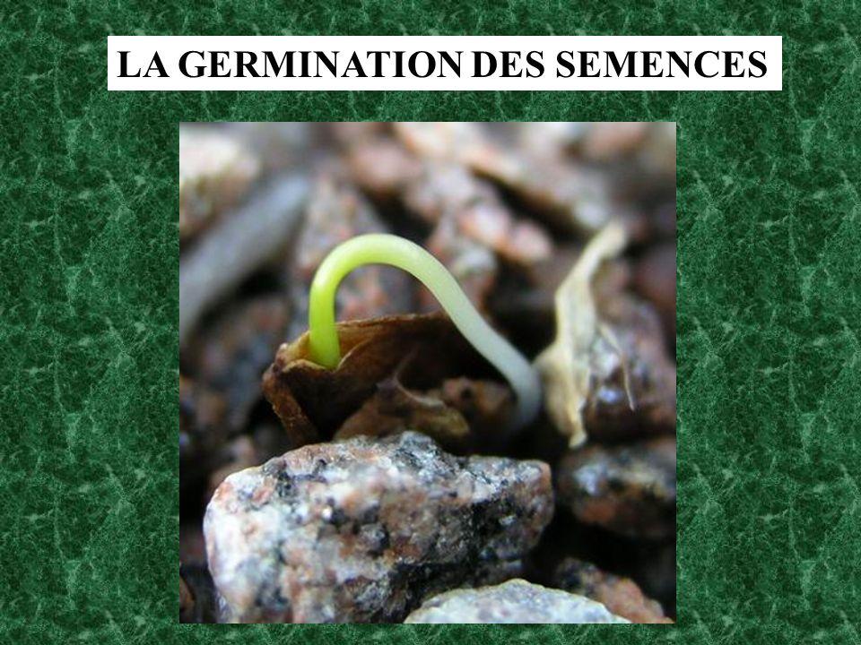 LA GERMINATION DES SEMENCES