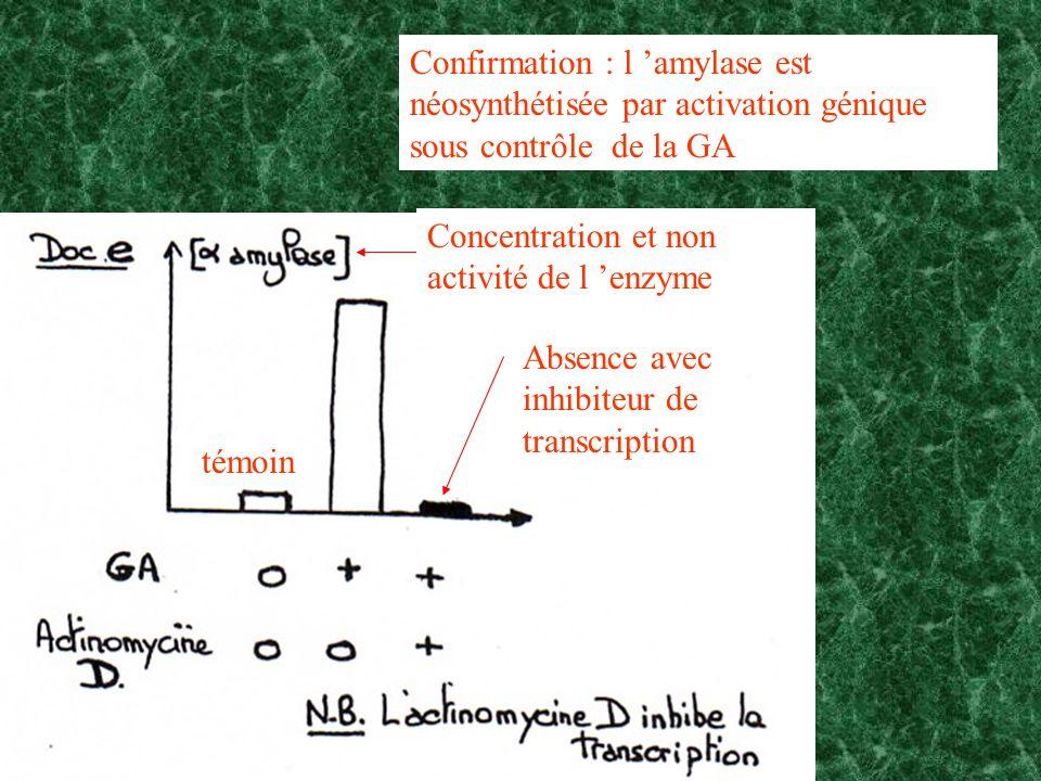 Confirmation : l 'amylase est néosynthétisée par activation génique sous contrôle de la GA