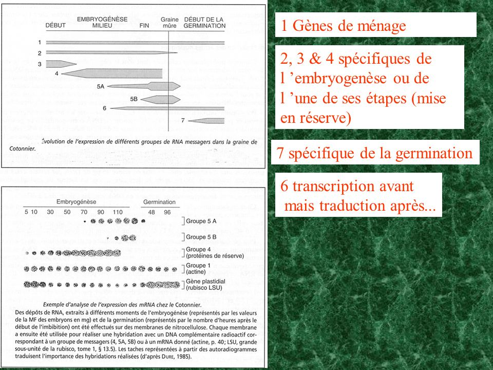 1 Gènes de ménage 2, 3 & 4 spécifiques de l 'embryogenèse ou de l 'une de ses étapes (mise en réserve)