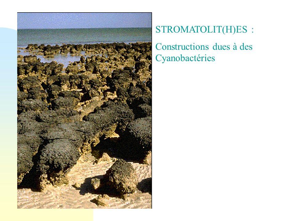 Constructions dues à des Cyanobactéries