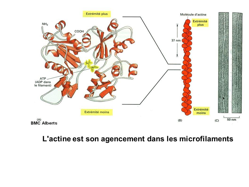 L actine est son agencement dans les microfilaments