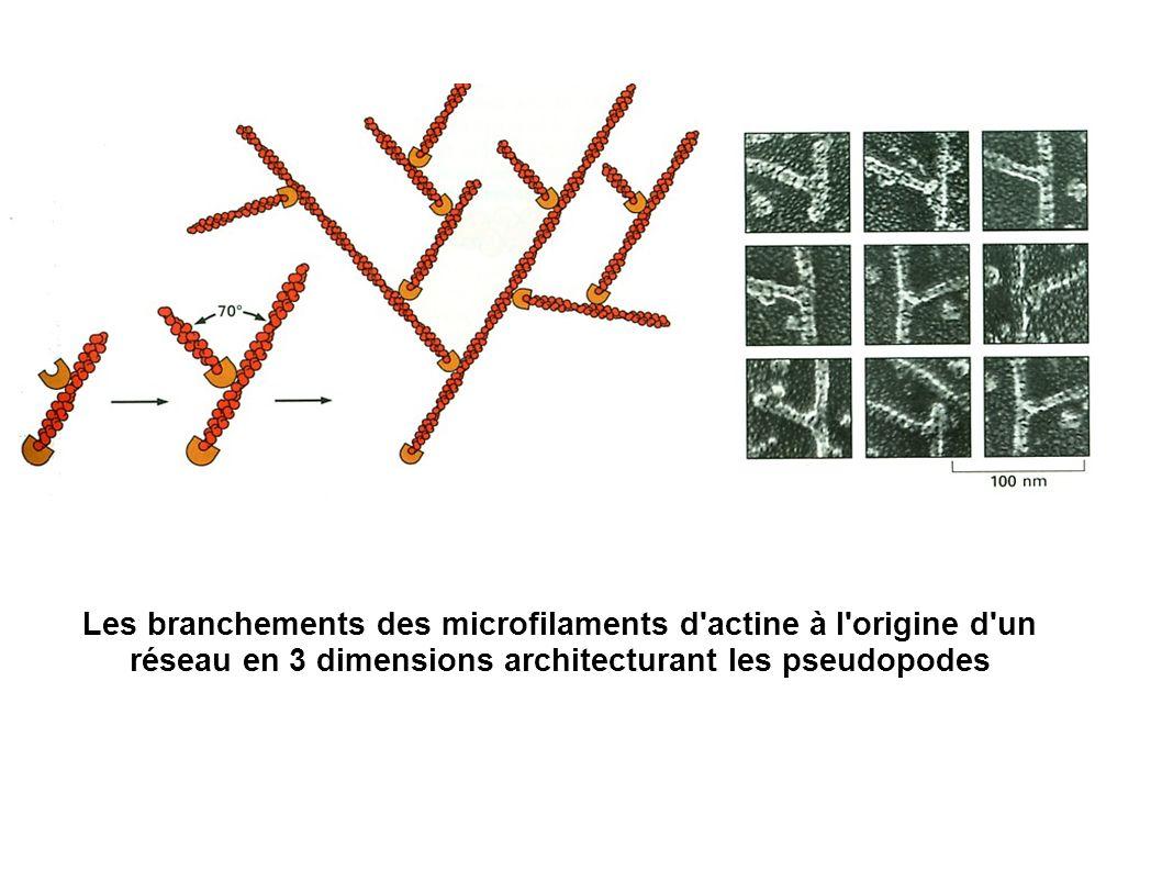 Les branchements des microfilaments d actine à l origine d un réseau en 3 dimensions architecturant les pseudopodes