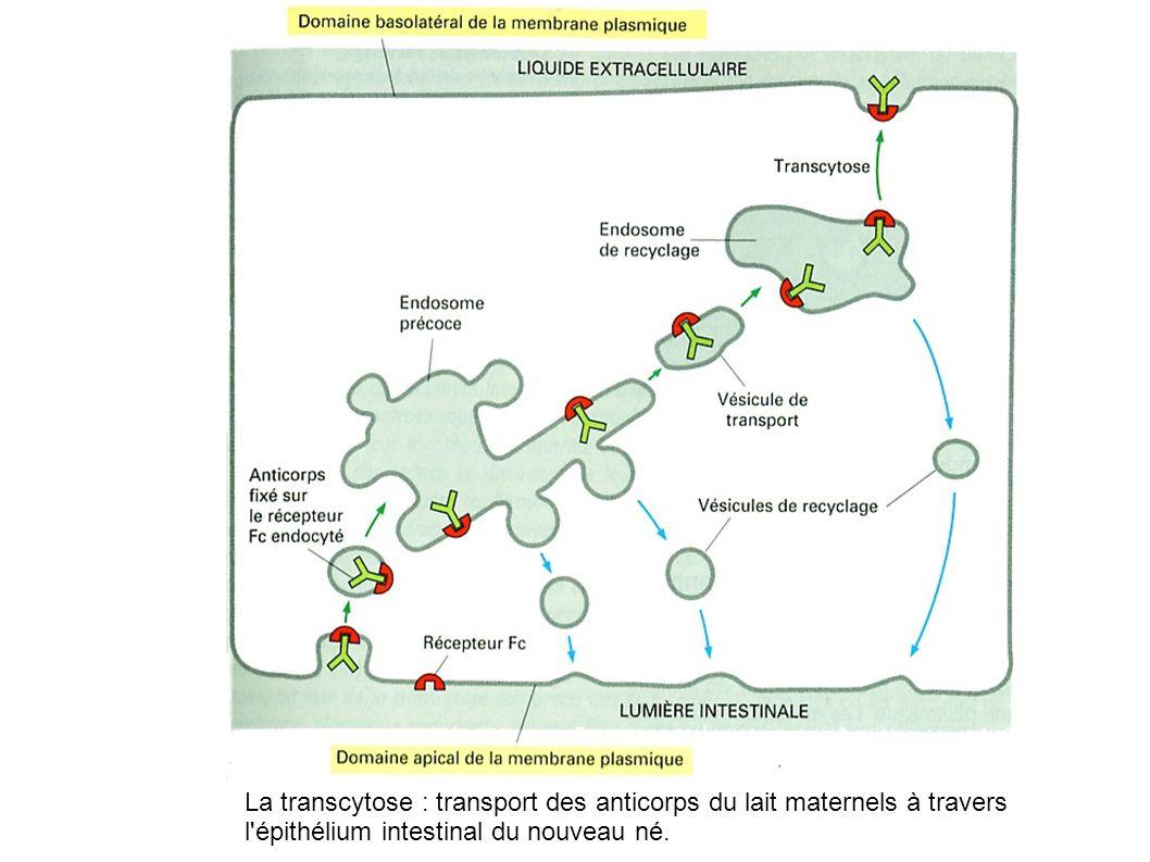 La transcytose : transport des anticorps du lait maternels à travers l épithélium intestinal du nouveau né.