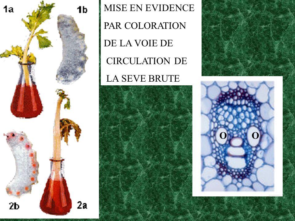 MISE EN EVIDENCE PAR COLORATION DE LA VOIE DE CIRCULATION DE LA SEVE BRUTE O O