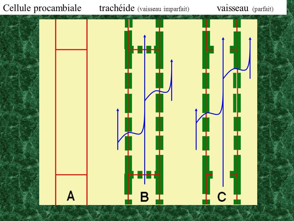 Cellule procambiale trachéide (vaisseau imparfait) vaisseau (parfait)
