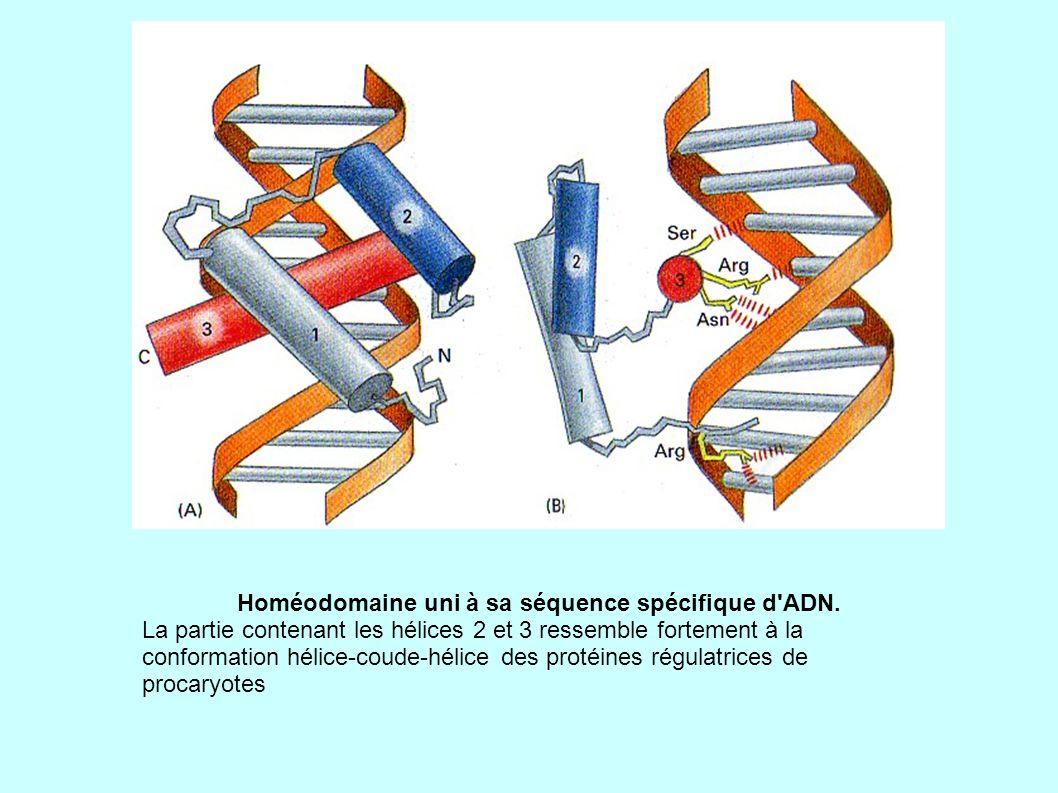 Homéodomaine uni à sa séquence spécifique d ADN.