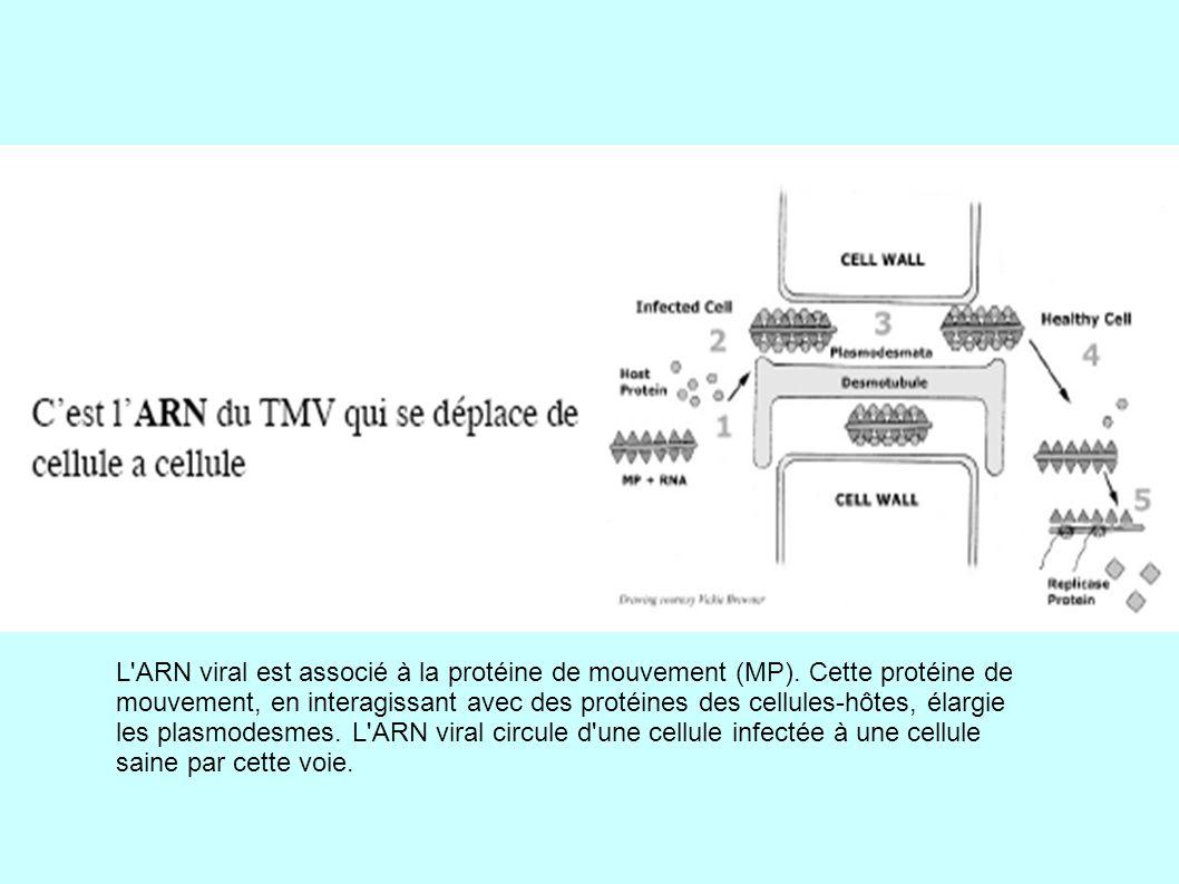 L ARN viral est associé à la protéine de mouvement (MP)