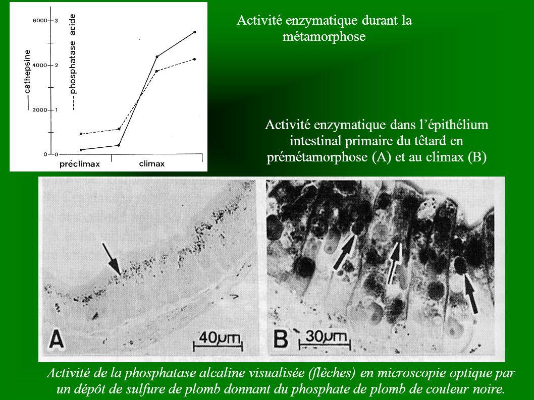 Activité enzymatique durant la métamorphose
