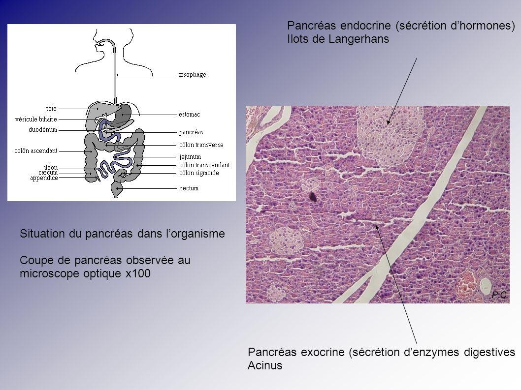 Pancréas endocrine (sécrétion d'hormones)