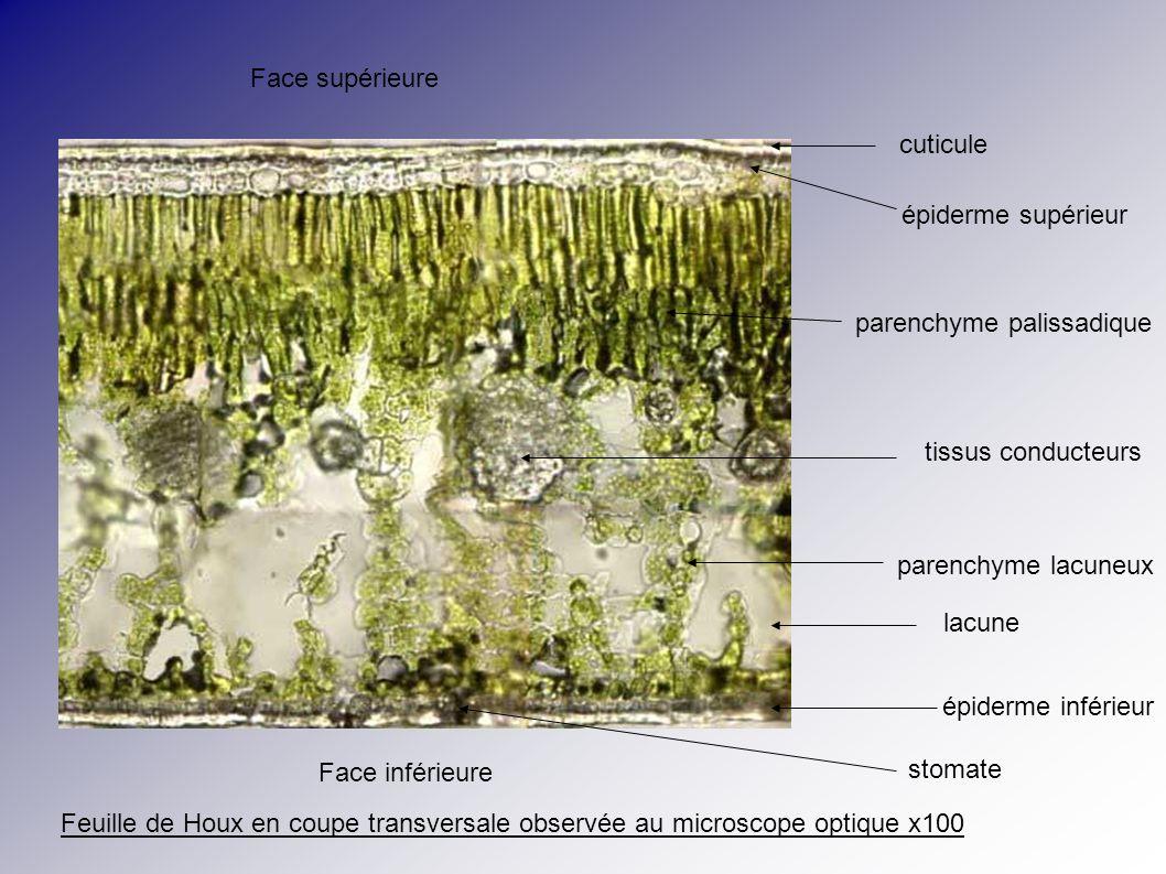 Face supérieure cuticule. épiderme supérieur. parenchyme palissadique. tissus conducteurs. parenchyme lacuneux.