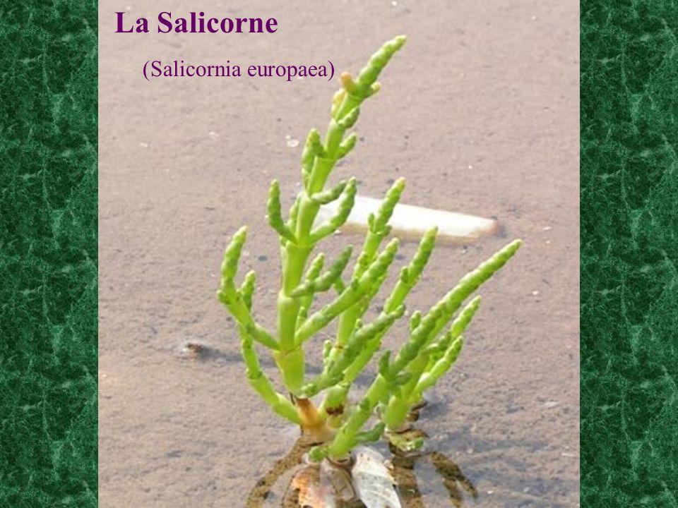 La Salicorne (Salicornia europaea)