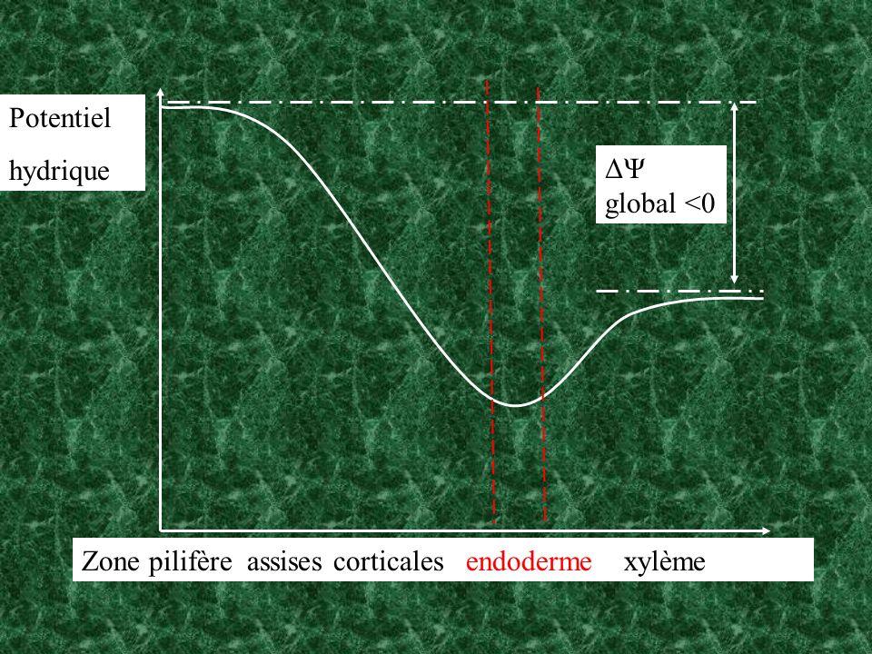 Zone pilifère assises corticales endoderme xylème