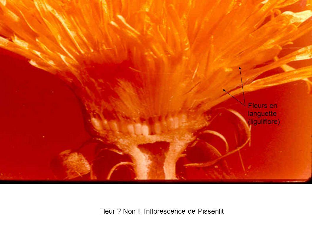 Fleur Non ! Inflorescence de Pissenlit