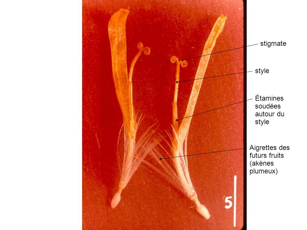 stigmate style Étamines soudées autour du style Aigrettes des futurs fruits (akènes plumeux)