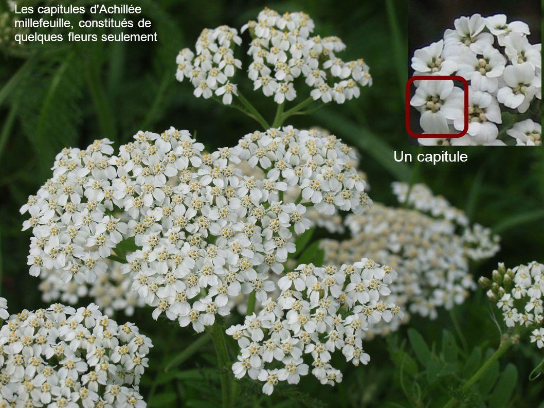 Les capitules d Achillée millefeuille, constitués de quelques fleurs seulement