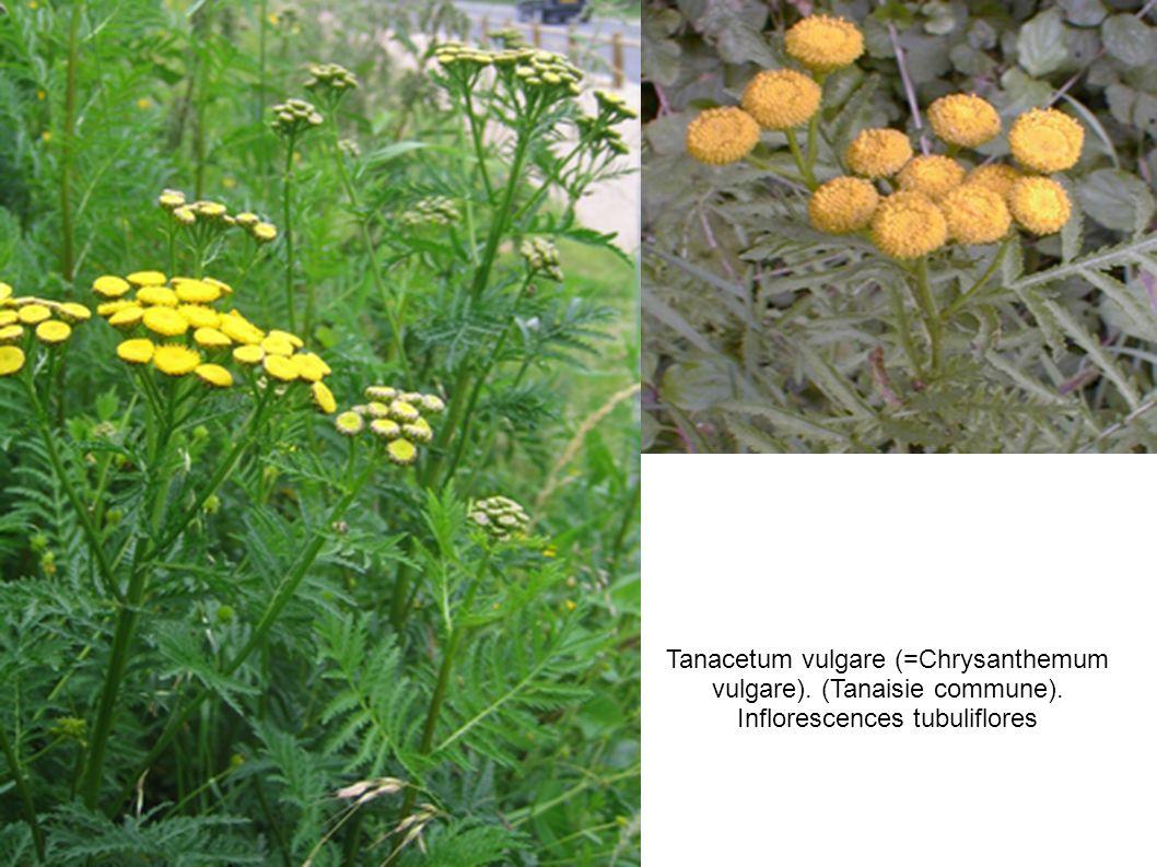 Tanacetum vulgare (=Chrysanthemum vulgare). (Tanaisie commune)
