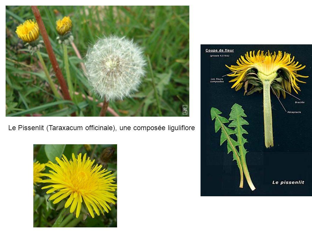 Le Pissenlit (Taraxacum officinale), une composée liguliflore