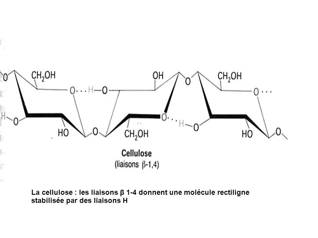 La cellulose : les liaisons β 1-4 donnent une molécule rectiligne stabilisée par des liaisons H