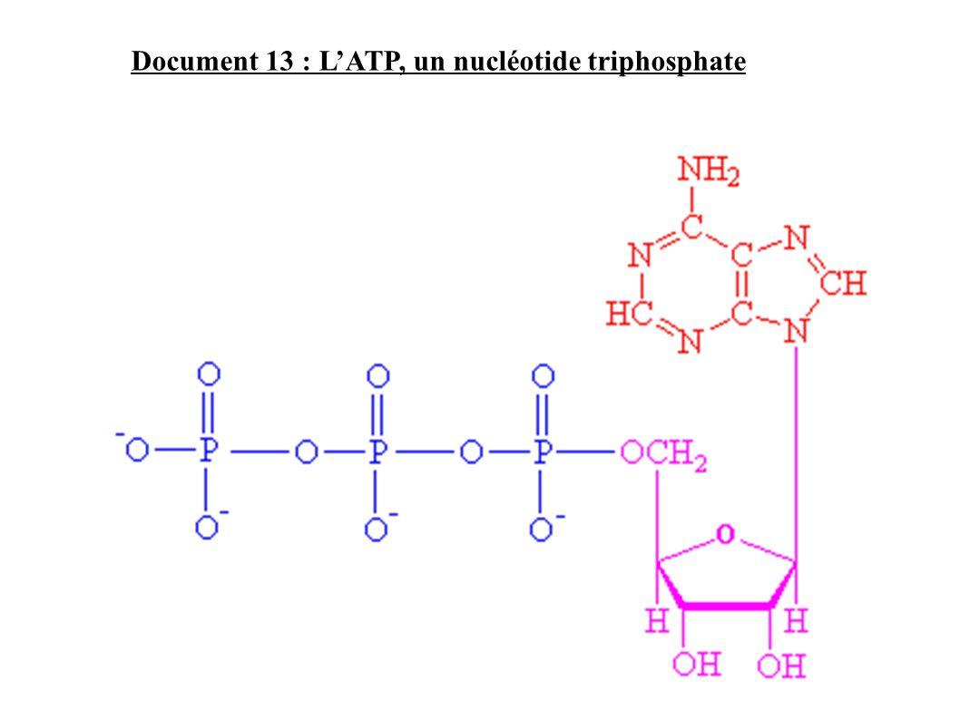 Document 13 : L'ATP, un nucléotide triphosphate